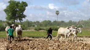 cambodia-cows
