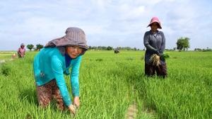 cambodia-rice