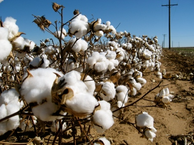 Cotton_field_kv06.jpg
