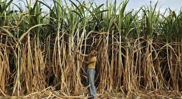 HARYANA-Top-Most-Famous-Largest-Sugarcane-ProducIng-States-In-India-2018