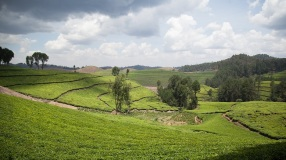 Kitabi Tea Processing Facility in Kitabi, Rwanda
